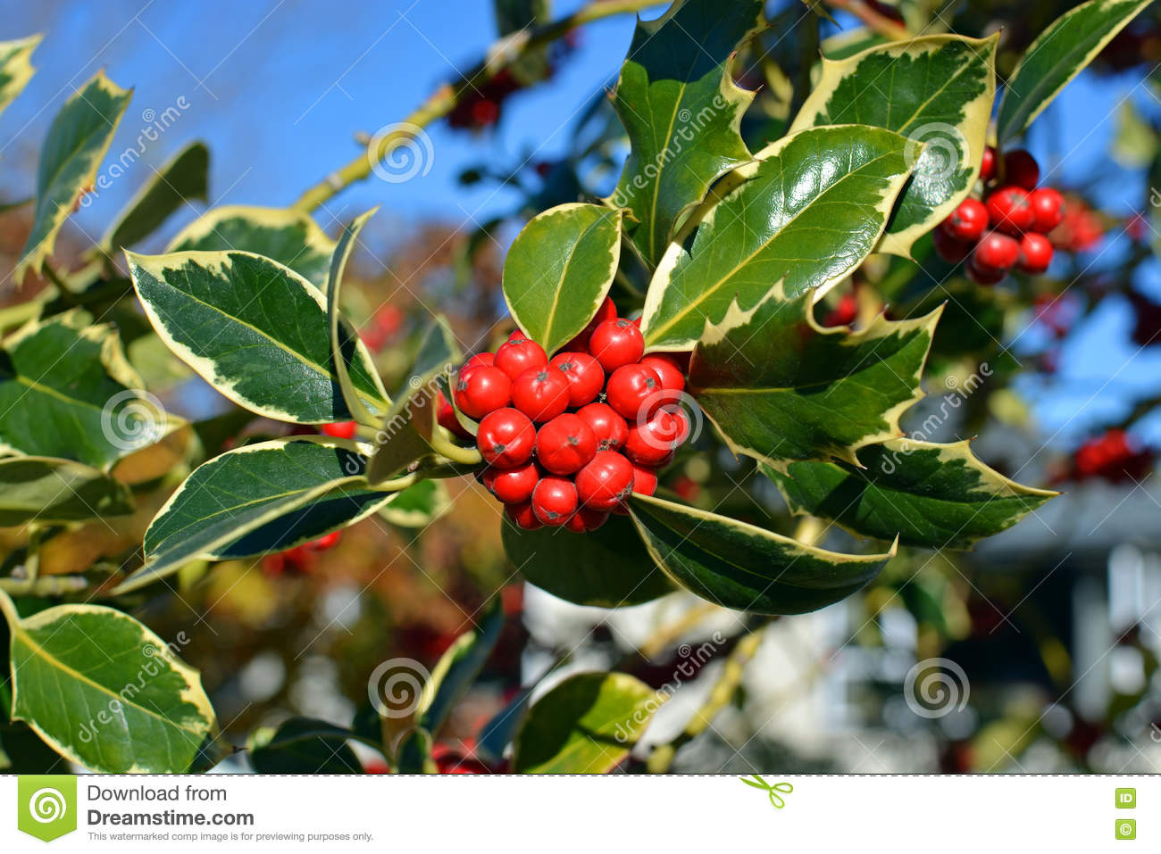 Delightful Christmas Holly Tree Part - 11: Royalty-Free Stock Photo. Download Christmas Holly Tree ...