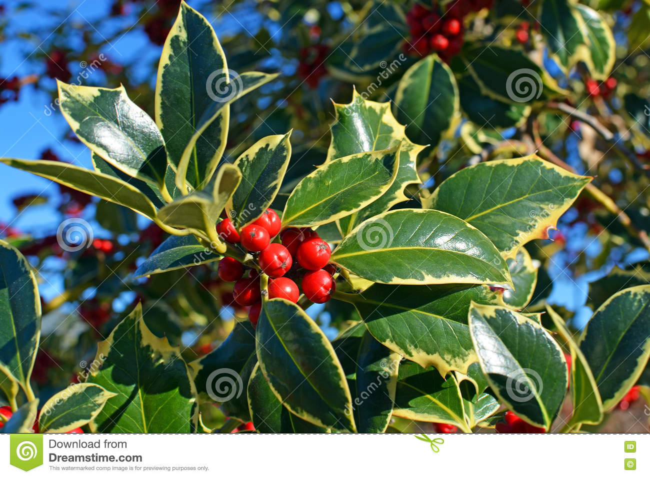 Christmas Holly Tree.Christmas Holly Tree Closeup Of Berries And Green Variegated