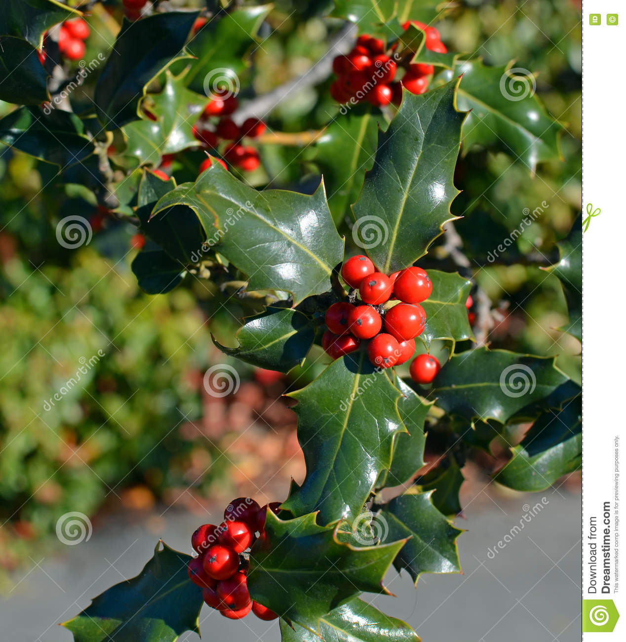 Charming Christmas Holly Tree Part - 2: Royalty-Free Stock Photo. Download Christmas Holly Tree ...