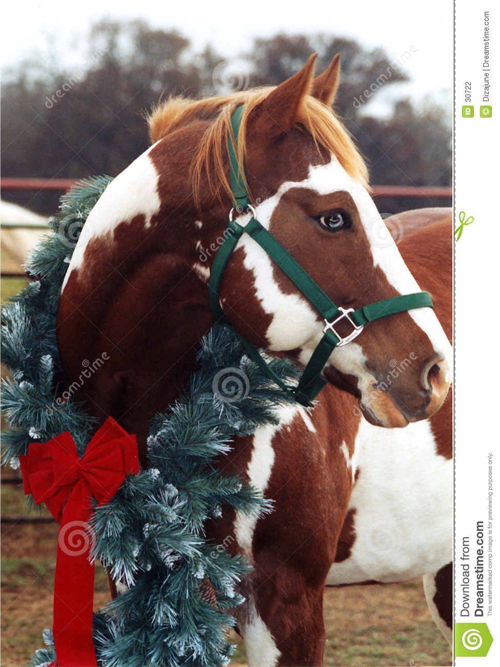 Christmas Horse Pictures.Christmas Horse Stock Photo Image Of Intent Texas Animal