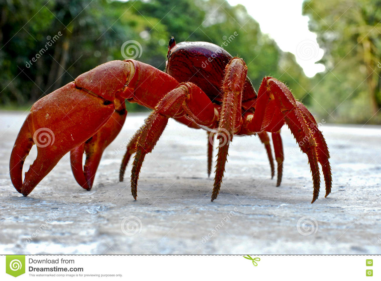 Christmas Island Red Crab.Christmas Island Red Crab Stock Image Image Of Migration