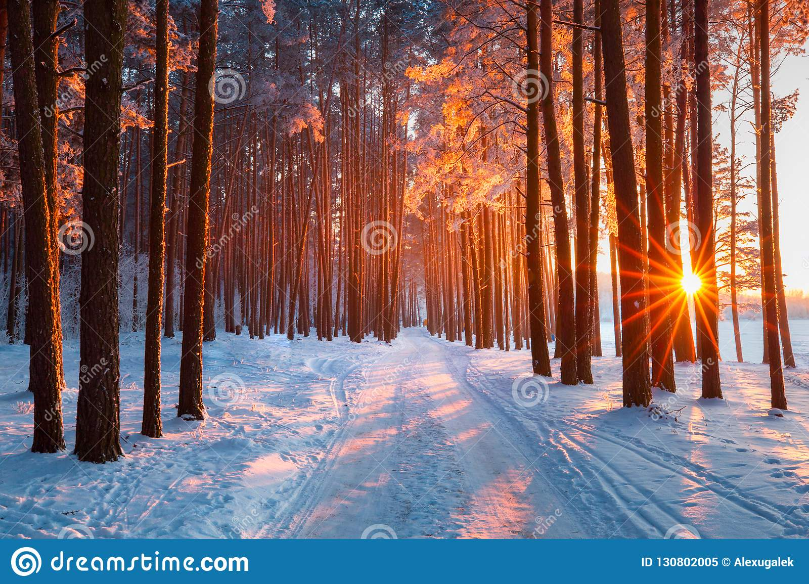 Snow path in winter forest. Evening sun shines through trees. Sun illuminates trees with frost.