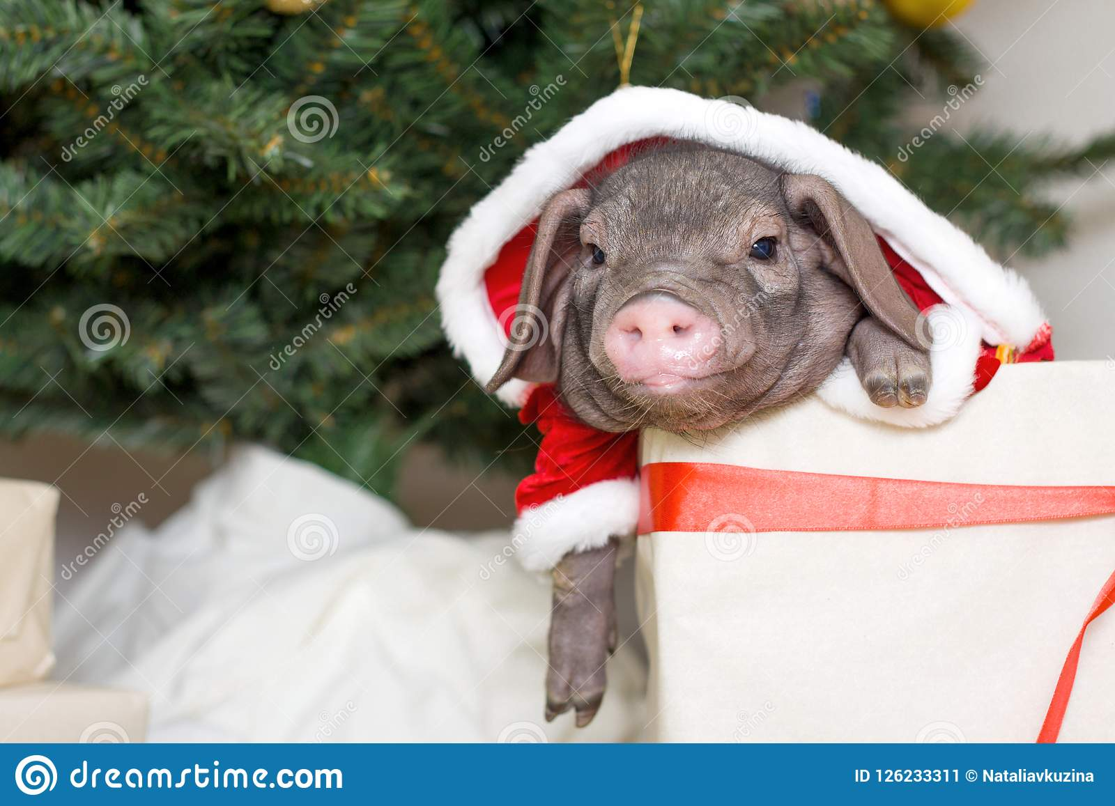 download christmas and new year card with cute newborn santa pig in gift present box