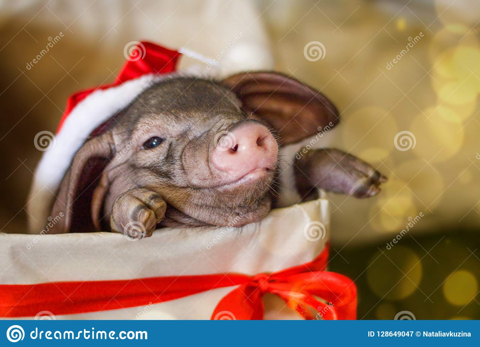 Christmas and new year card with cute newborn santa pig in gift present box. Decorations symbol of the year Chinese calendar. fir