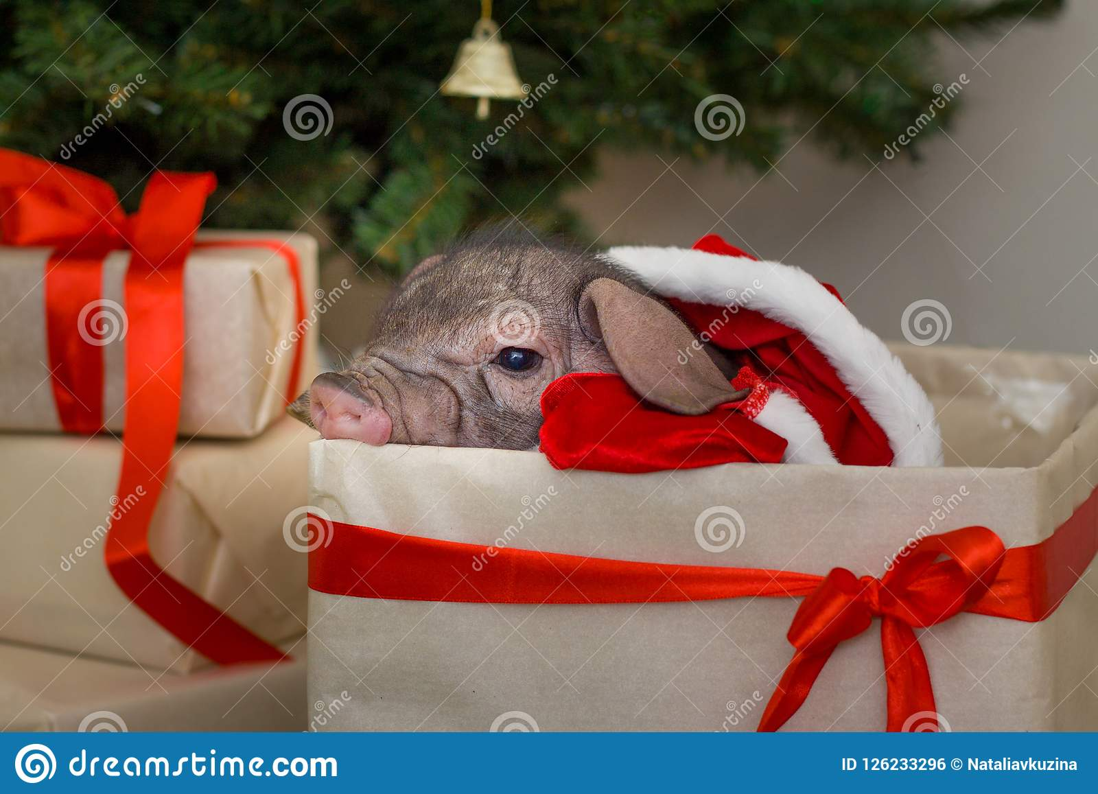 christmas and new year card with cute newborn santa pig in gift present box decorations symbol of the year chinese calendar fir on background