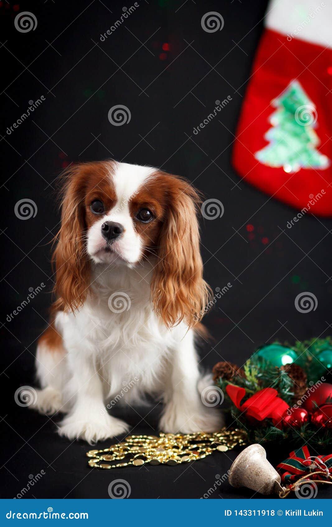 Christmas photo of cavalier king charles spaniel