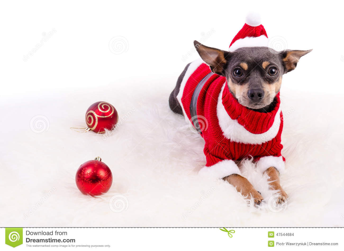 Christmas Pincher Dog Laying On White Rug Stock Photo