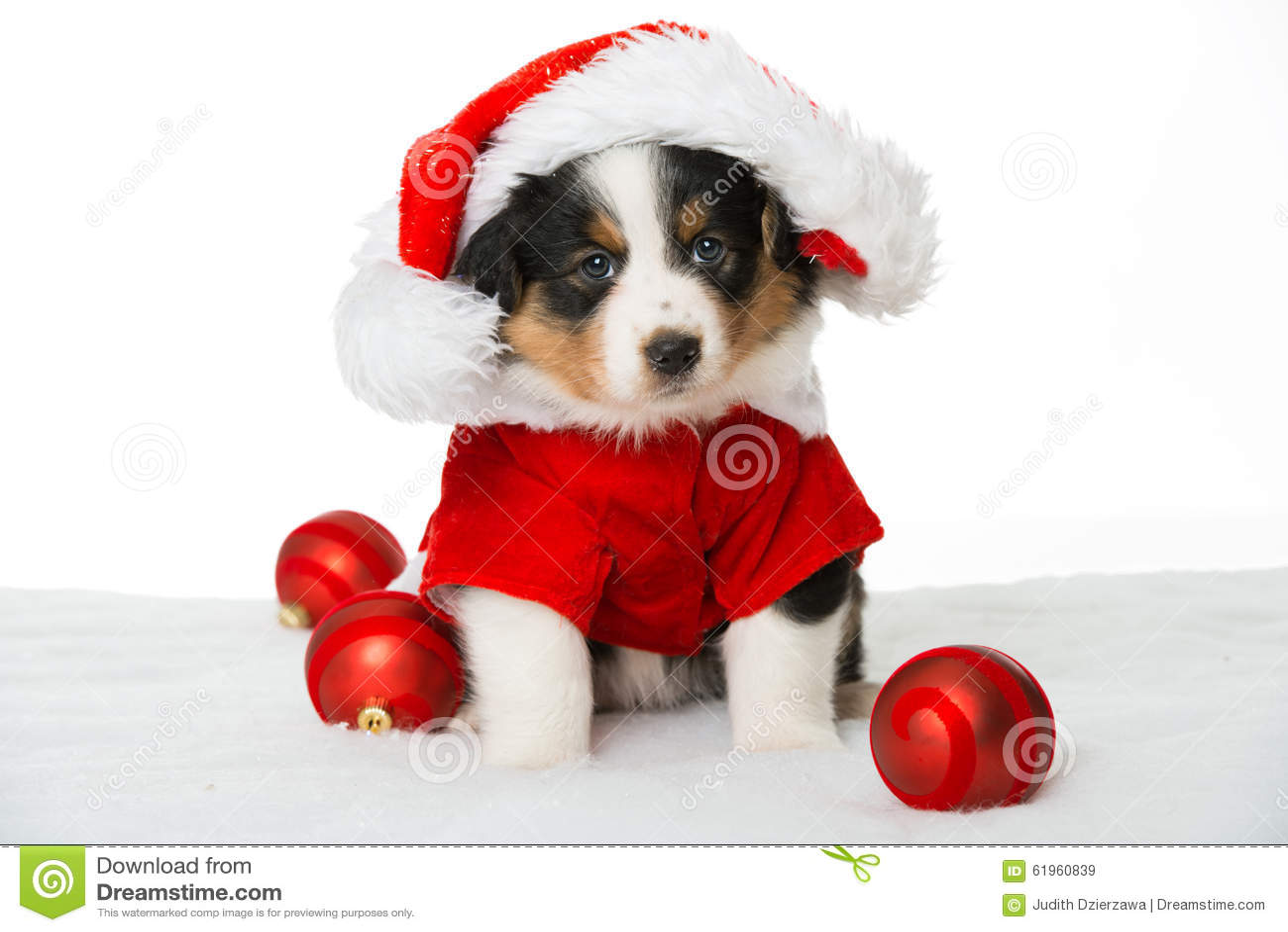 Christmas Puppy Stock Photo - Image: 61960839