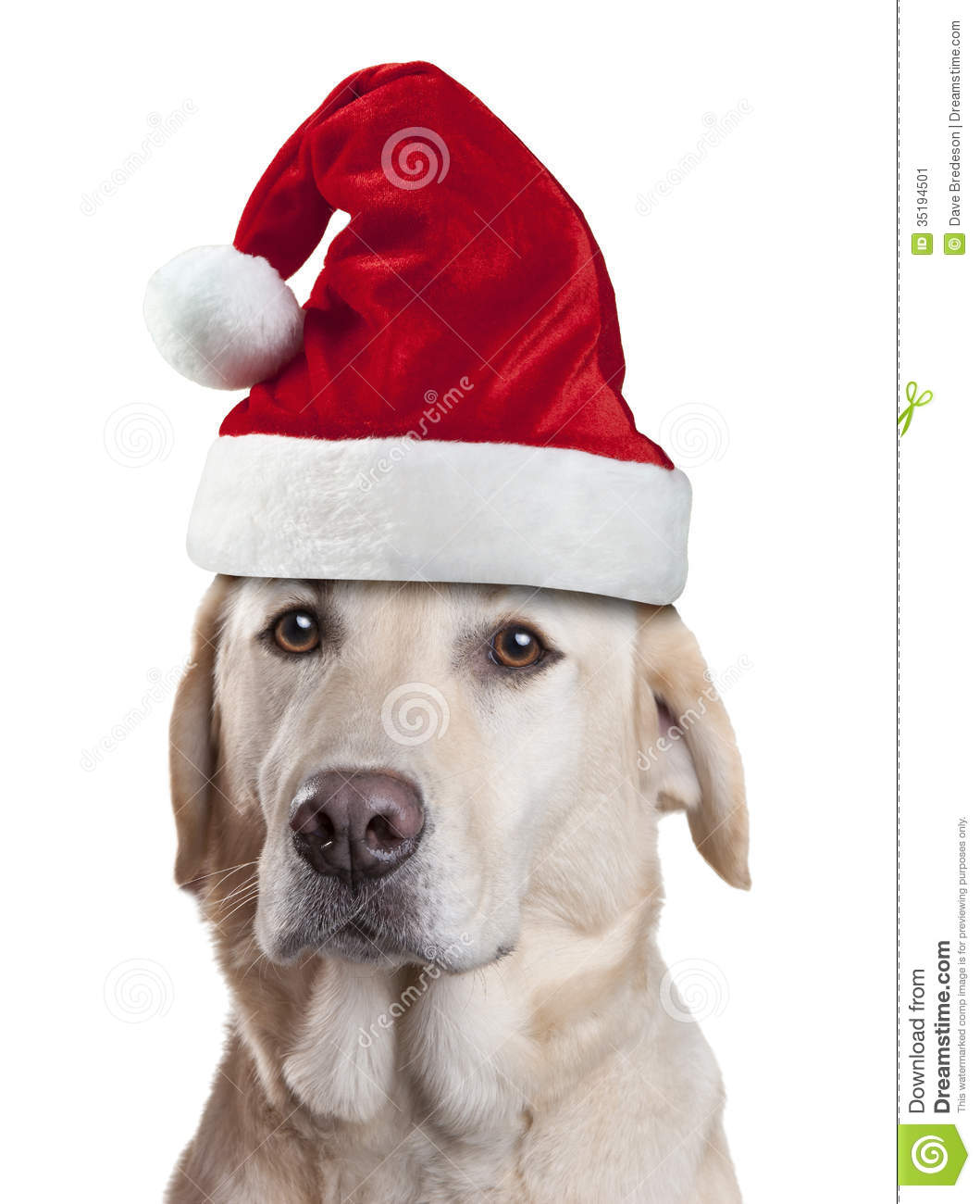 Christmas Hats For Dogs.Christmas Santa Hat Dog Stock Image Image Of Retriever