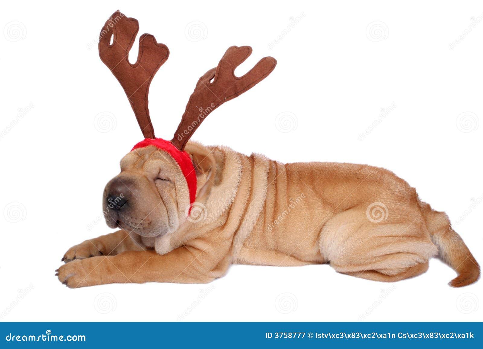 Christmas Sharpei Dog Royalty Free Stock Photography ... Relaxing Dog Music Audio