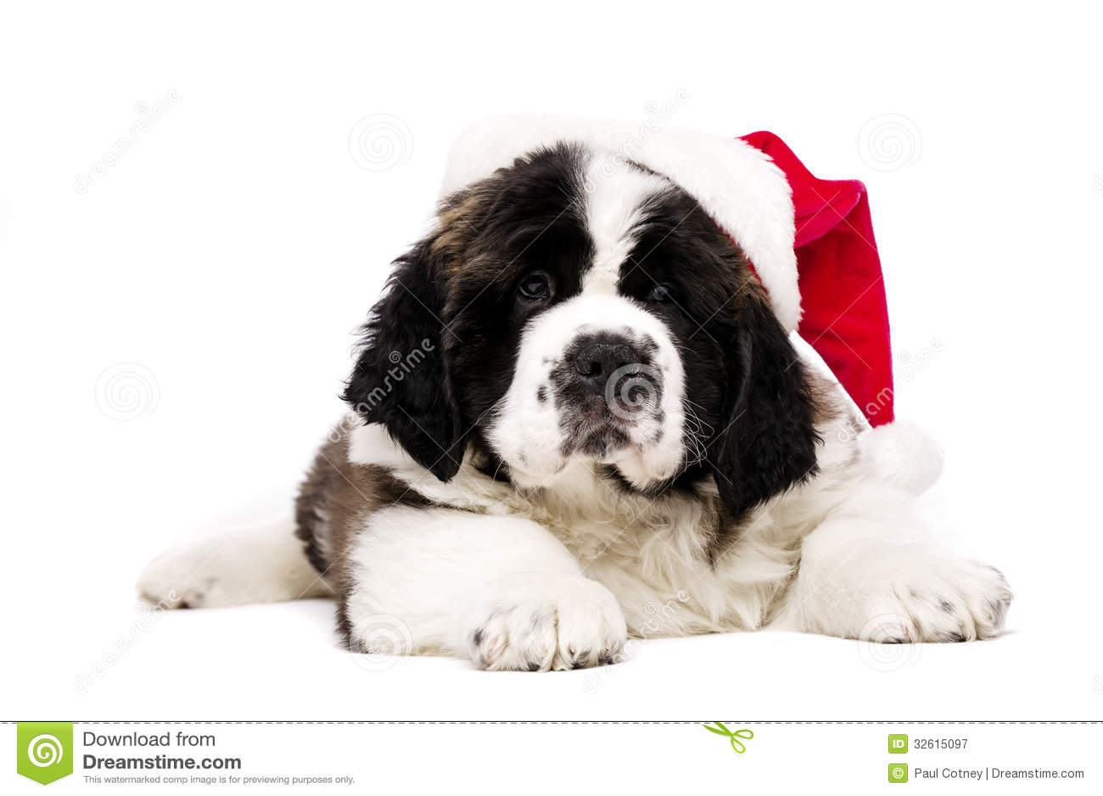 Christmas st bernard puppy on white royalty free stock photography