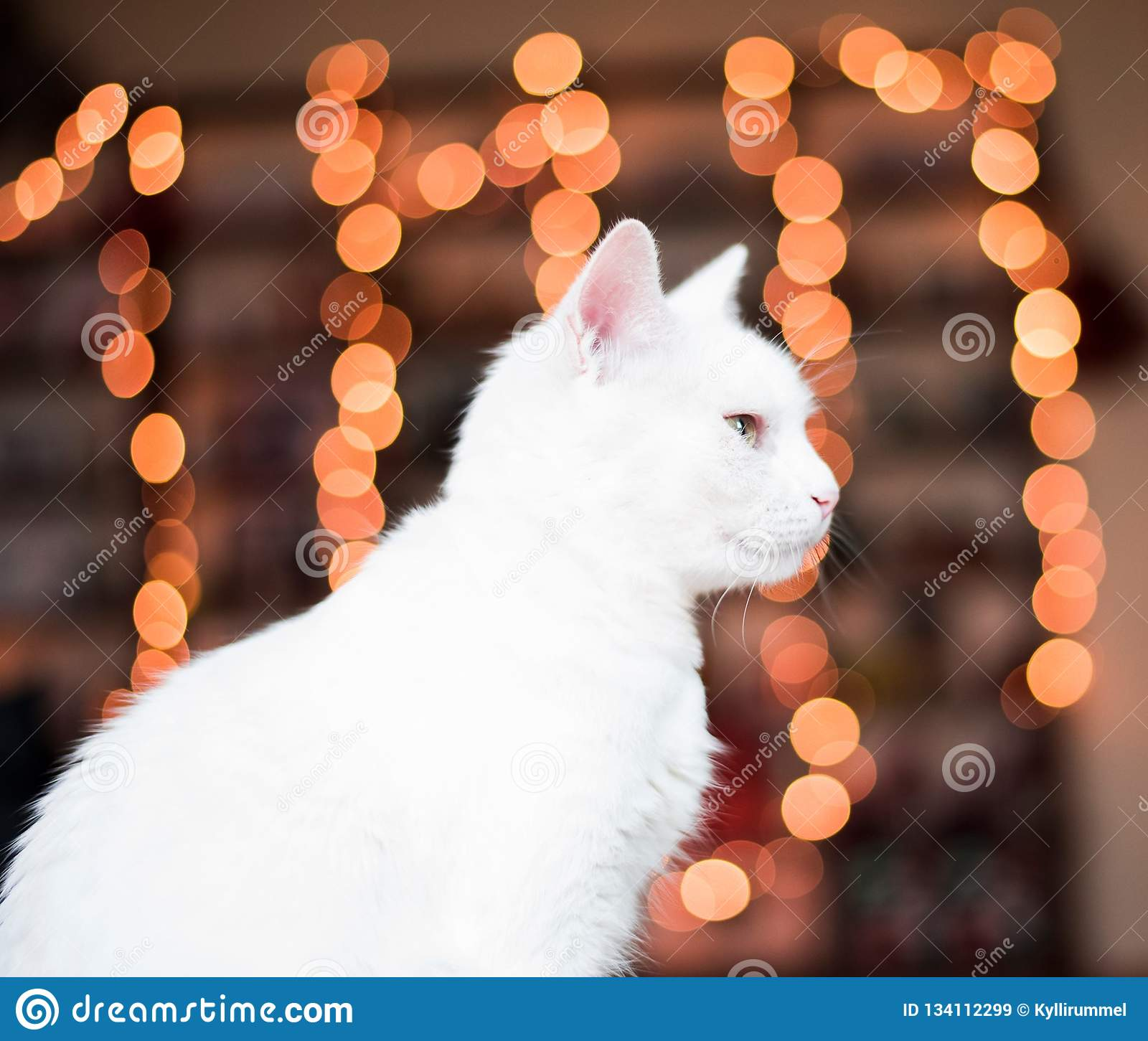 Christmas time cat