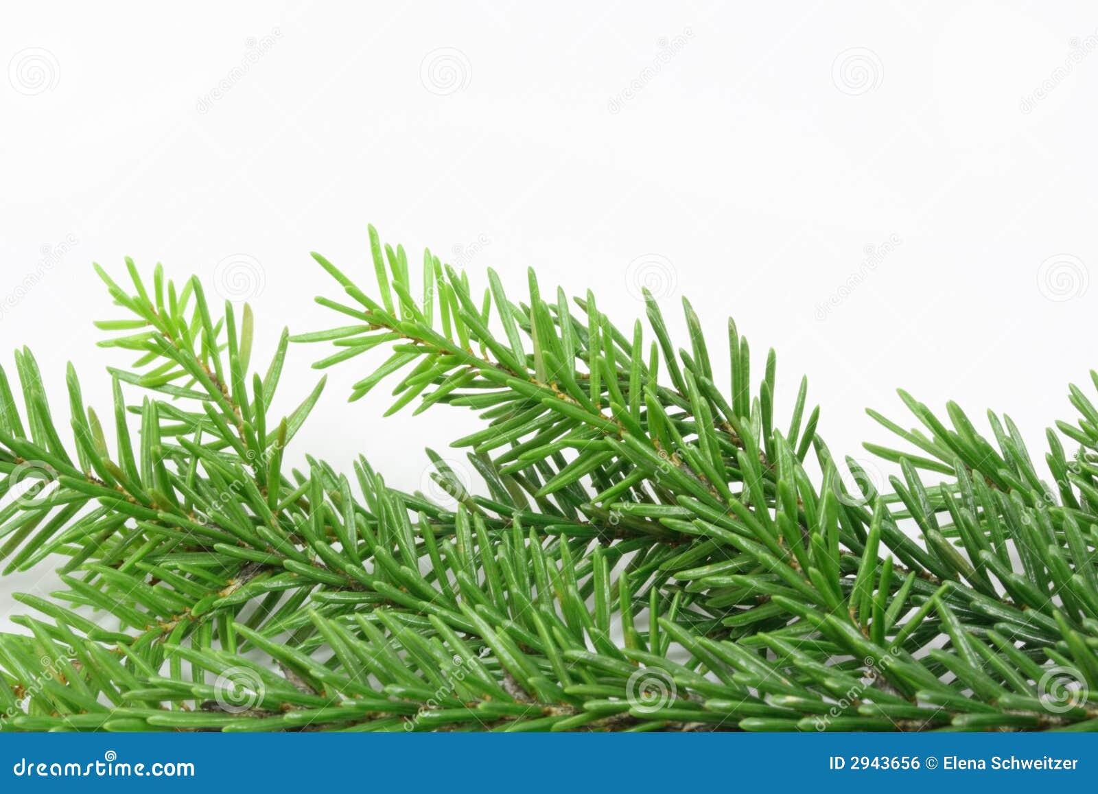 Christmas Tree Bough Royalty Free Stock Image - Image: 2943656