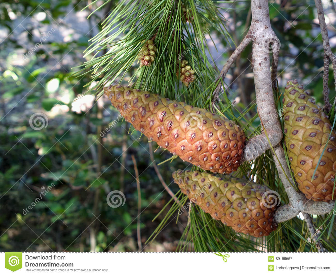 download christmas tree branch with large pine cones for decoration evergreen fir tree stock image - Decorating Large Pine Cones For Christmas
