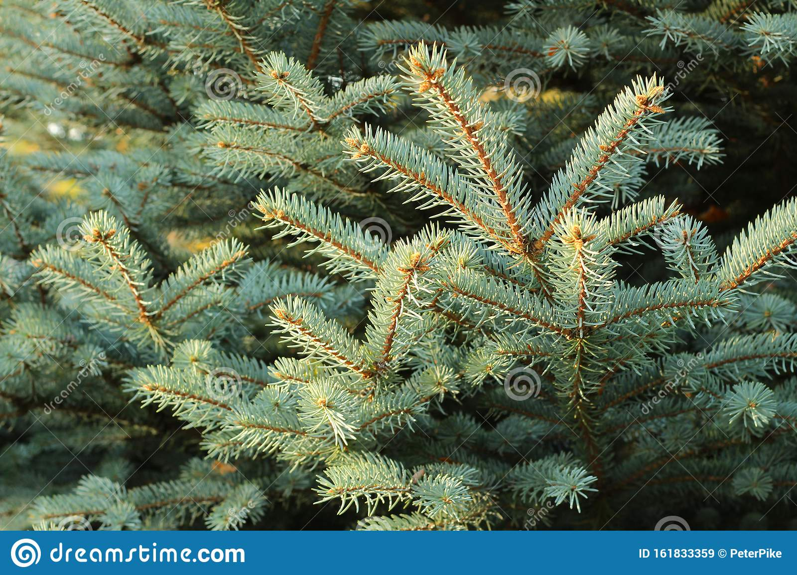 Christmas Tree Branches With Short Needles. Beautiful Texture Background Stock Image - Image of ...