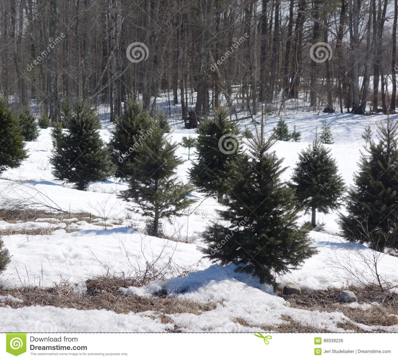 Christmas Tree Farm Stock Photo Image Of Texture Forest 89339226