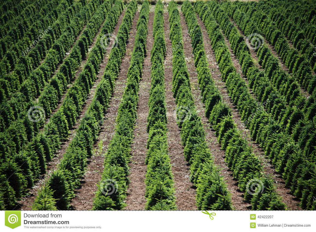 Christmas Tree Farm Stock Image. Image Of Irrigate