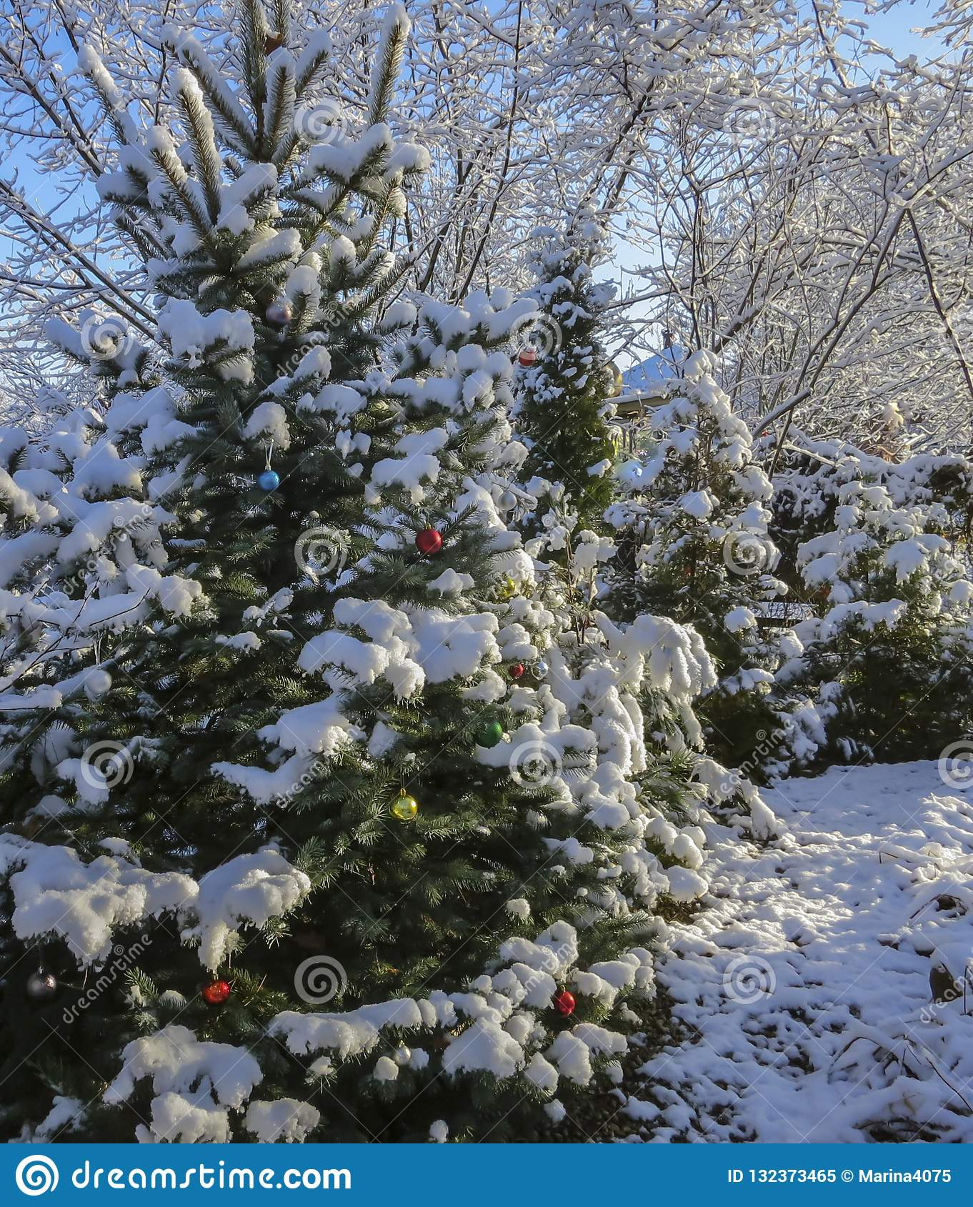 The Christmas tree in the garden is decorated with Christmas decorations, its branches and needles