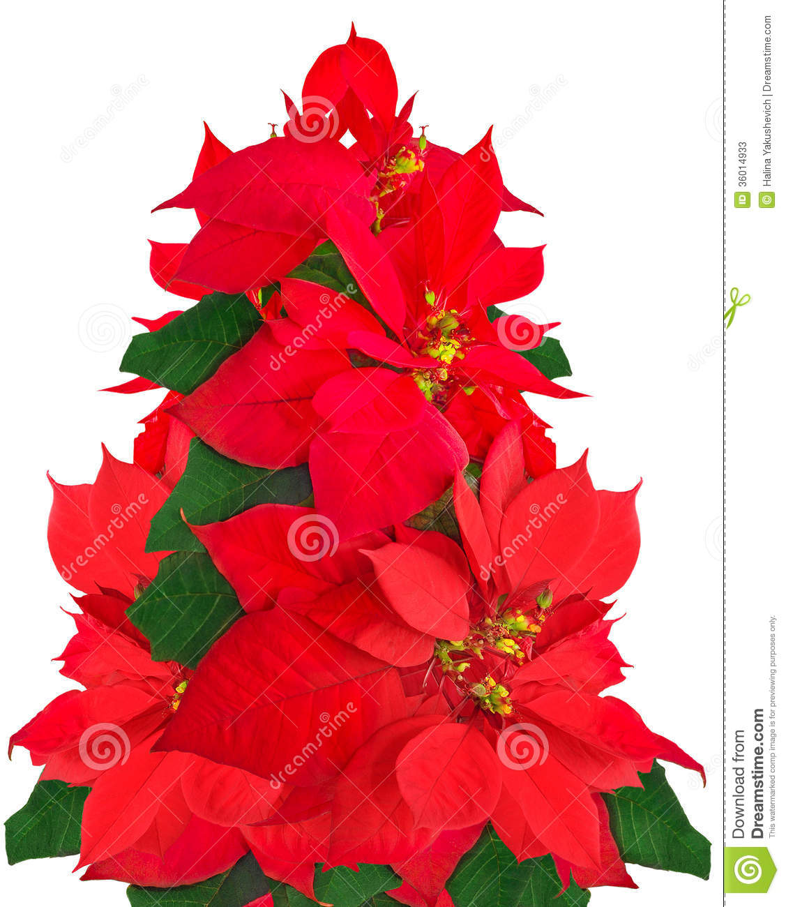 Christmas tree made of poinsettia flowers stock image