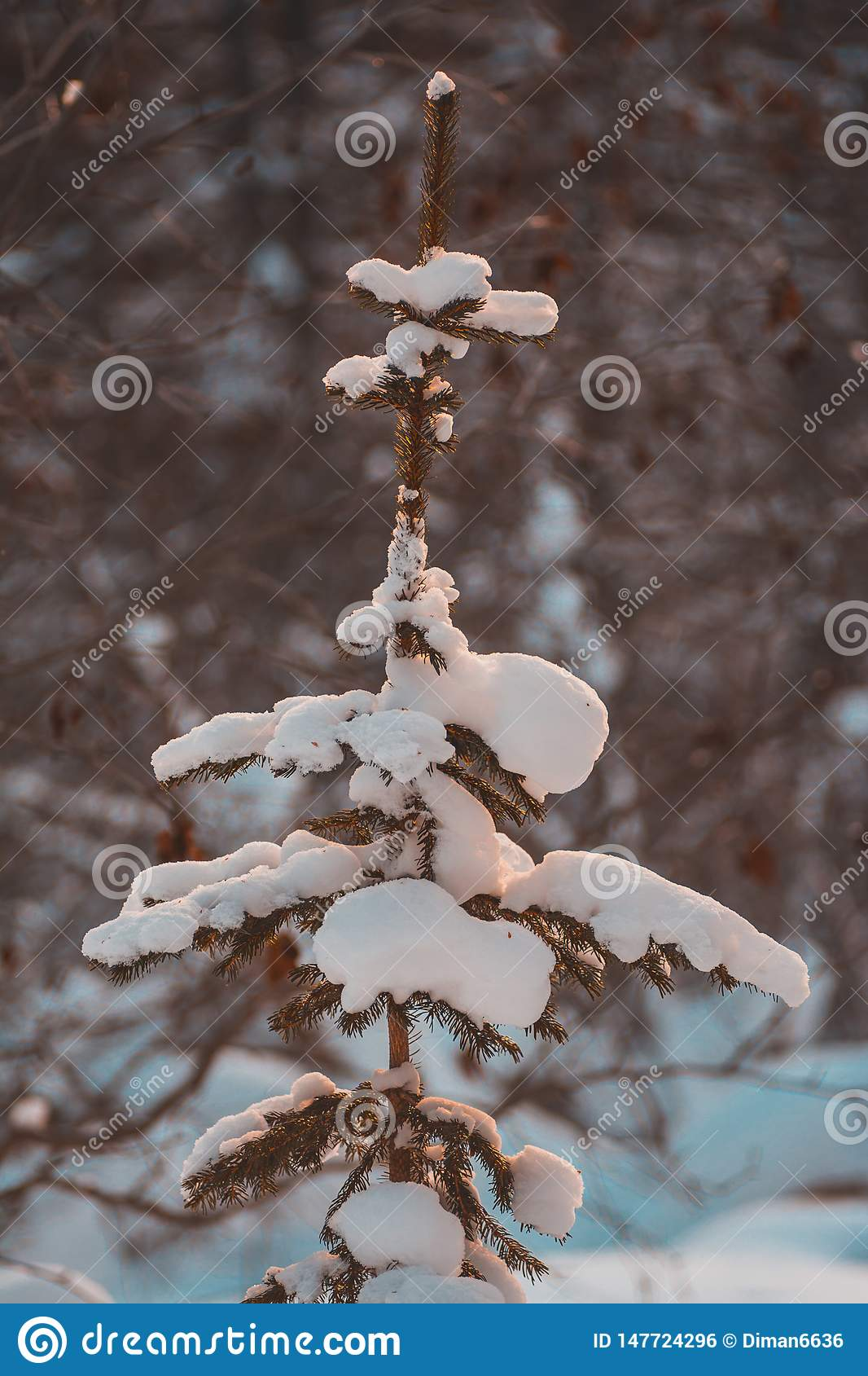 Christmas tree on the nature in the snow, a snowy tree in the forest