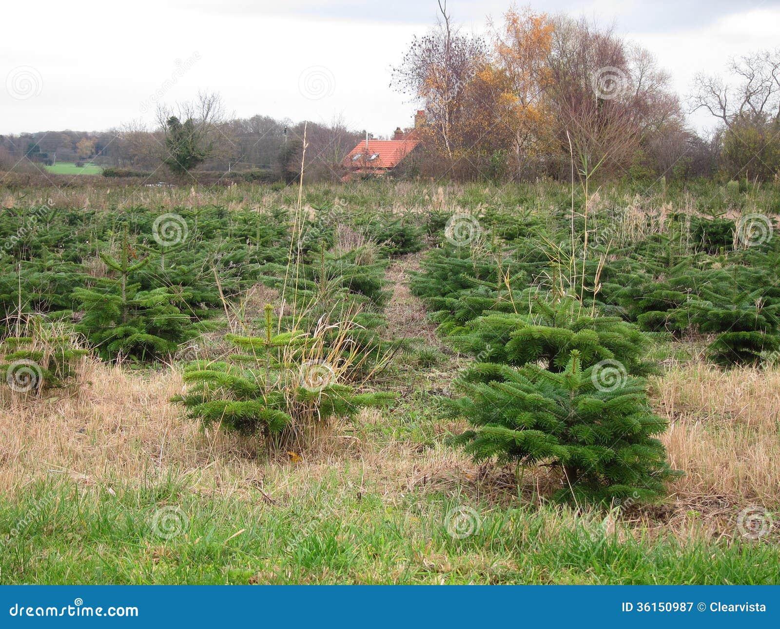 Christmas Tree Plantation