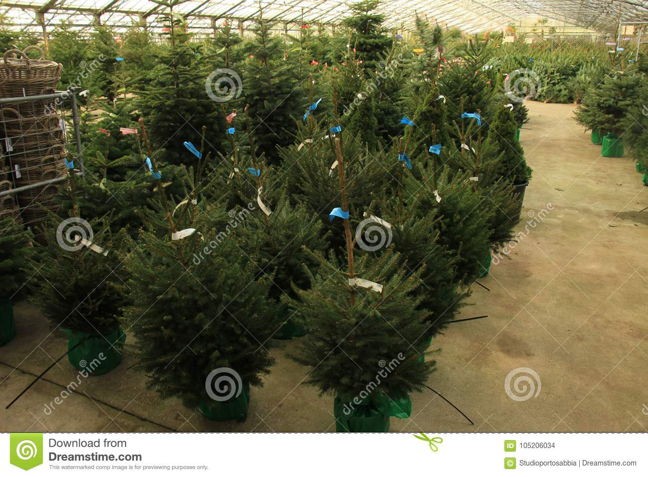 christmas tree sale different sizes and species text on tags name of tree in latin price in euro