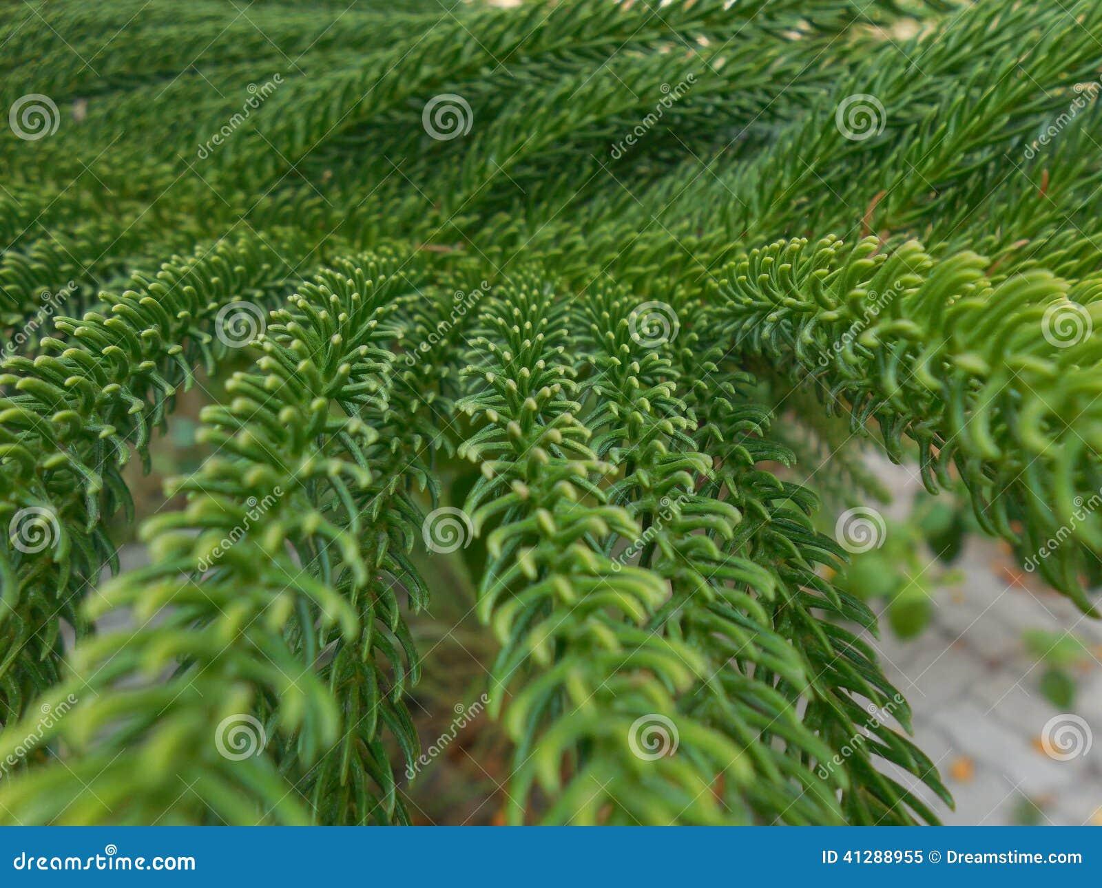 Christmas Tree Stock Image Image Of Name Tree Scientific 41288955