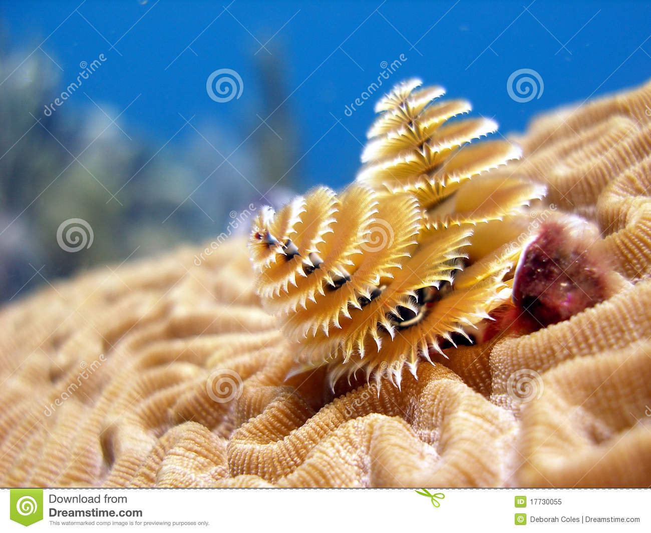 Christmas tree tube worms stock image of dive