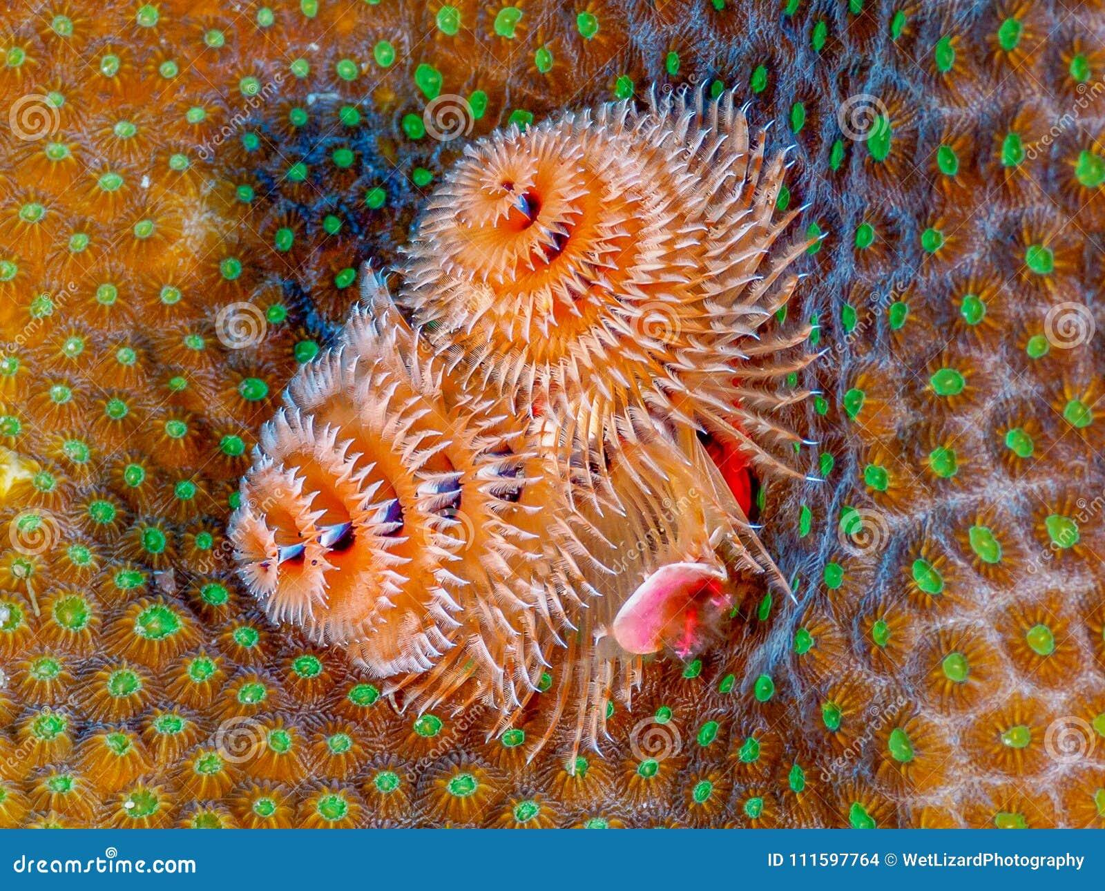 Christmas Tree Worm.Christmas Tree Worm On Star Coral Stock Photo Image Of