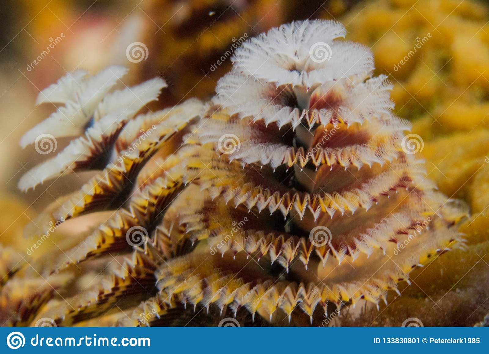 Christmas In Florida Keys.Christmas Tree Worm On Coral Reef Stock Image Image Of
