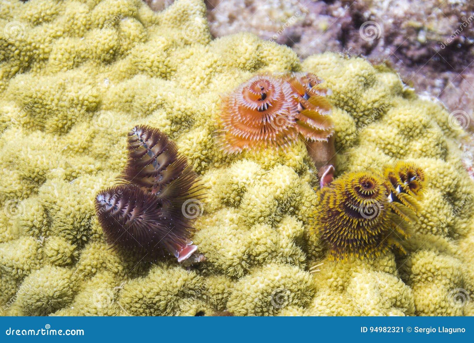 Christmas In Florida Keys.Christmas Tree Worm Stock Image Image Of Keys Barrier
