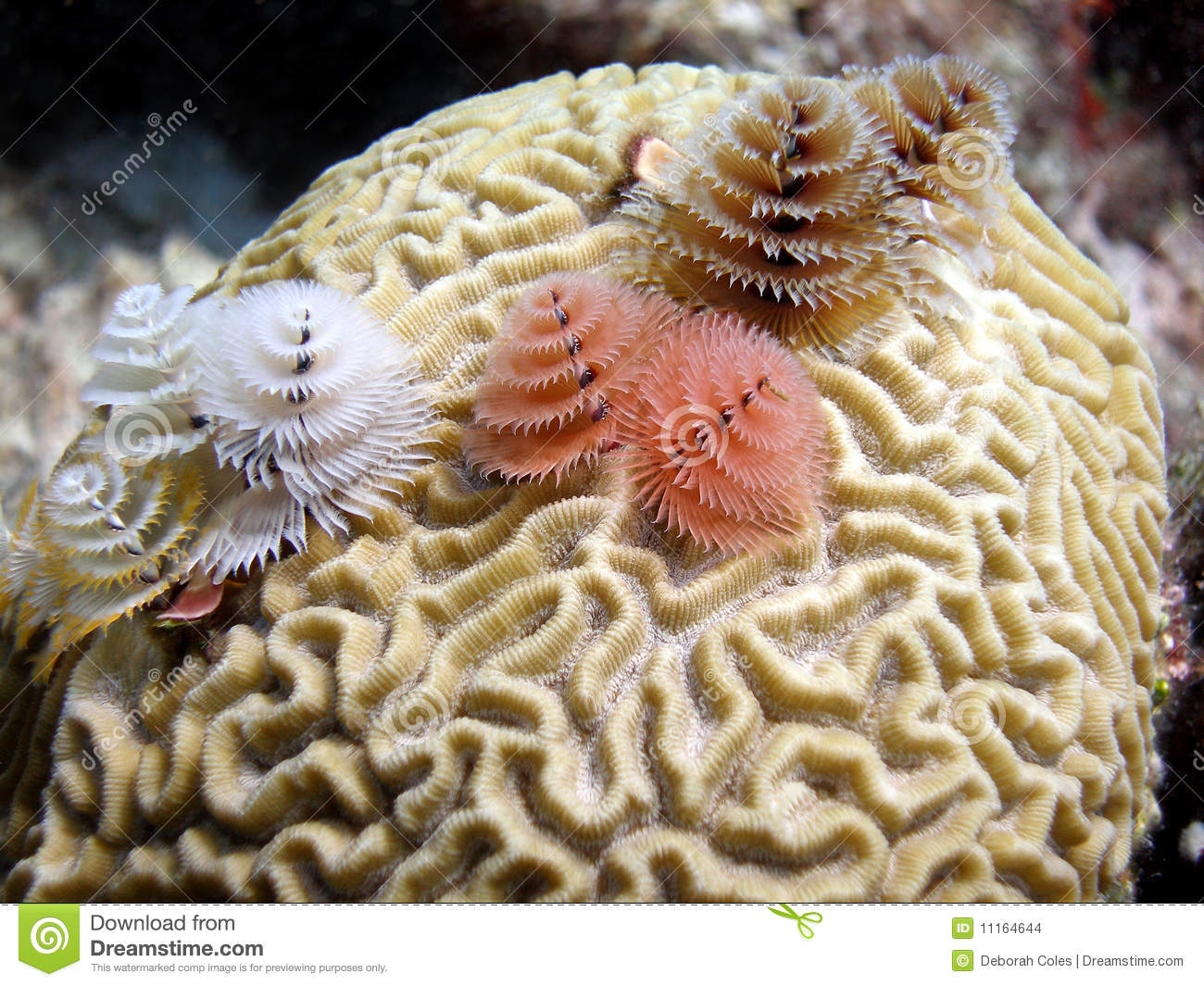 Christmas Tree Worms Stock Photo Image Of Diver Ocean 11164644