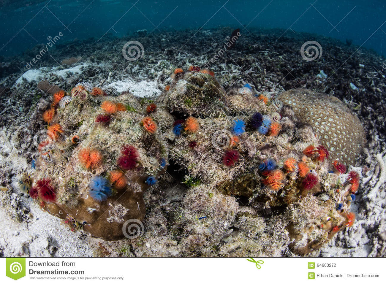Christmas Tree Worms Stock Photo Image Of Diving Ecosystem 64600272