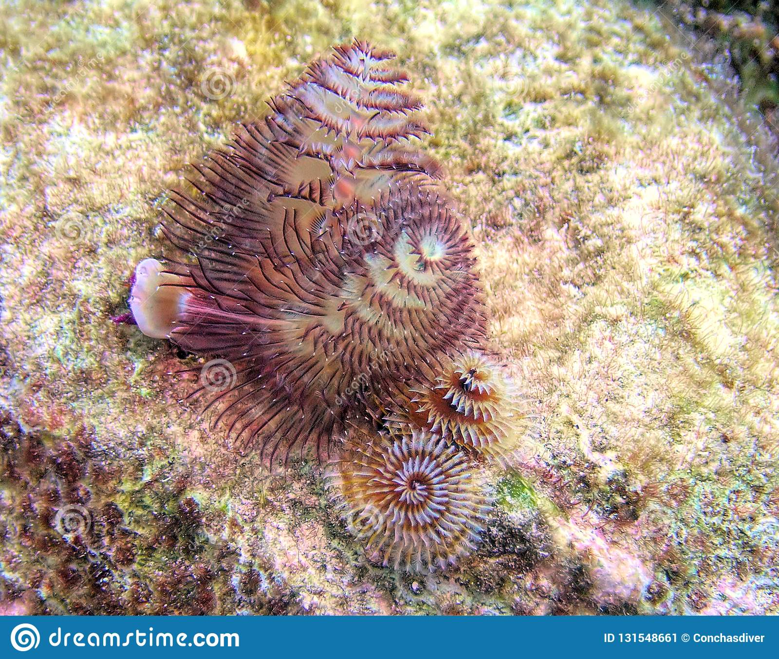 Christmas Tree Worms Swirl Out Of A Coral Head Stock Image Image