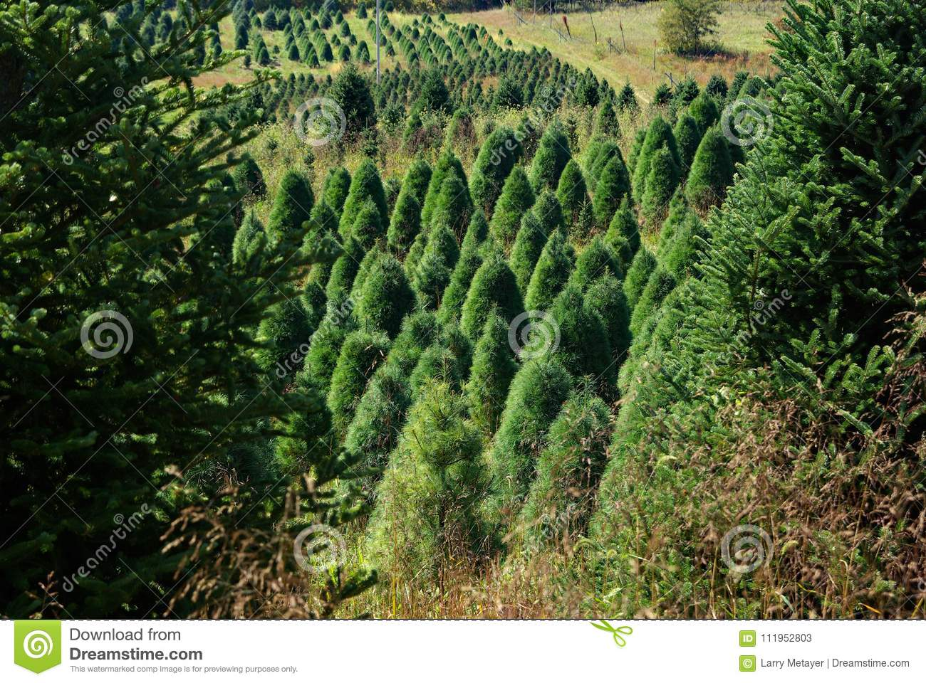 Christmas Tree Lots Near Me.Christmas Trees Growing In Mountain Meadow Stock Image