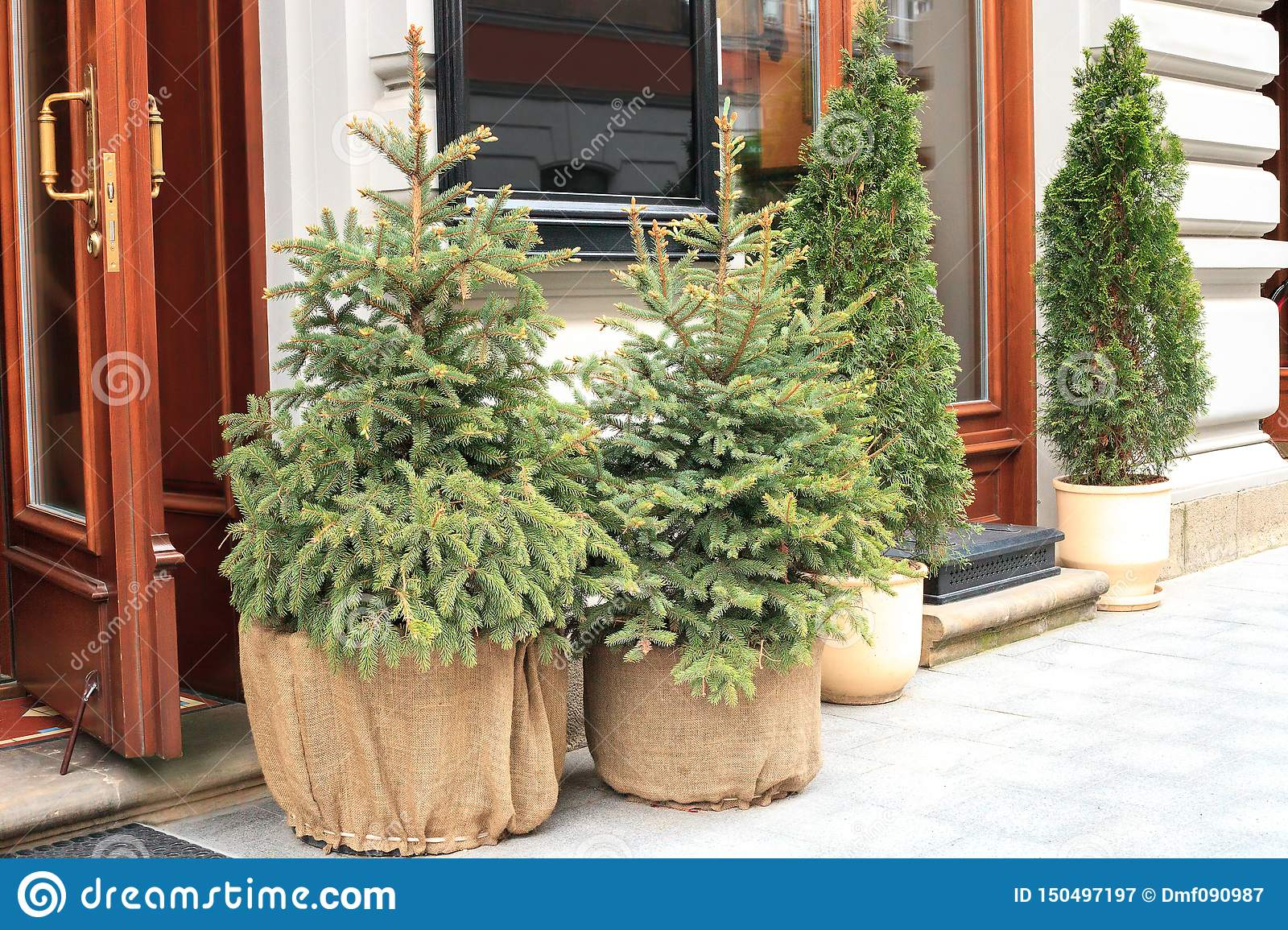 Potted Evergreen Small Christmas Fir Tree Near House, Holidays Decor Stock Image - Image of ...