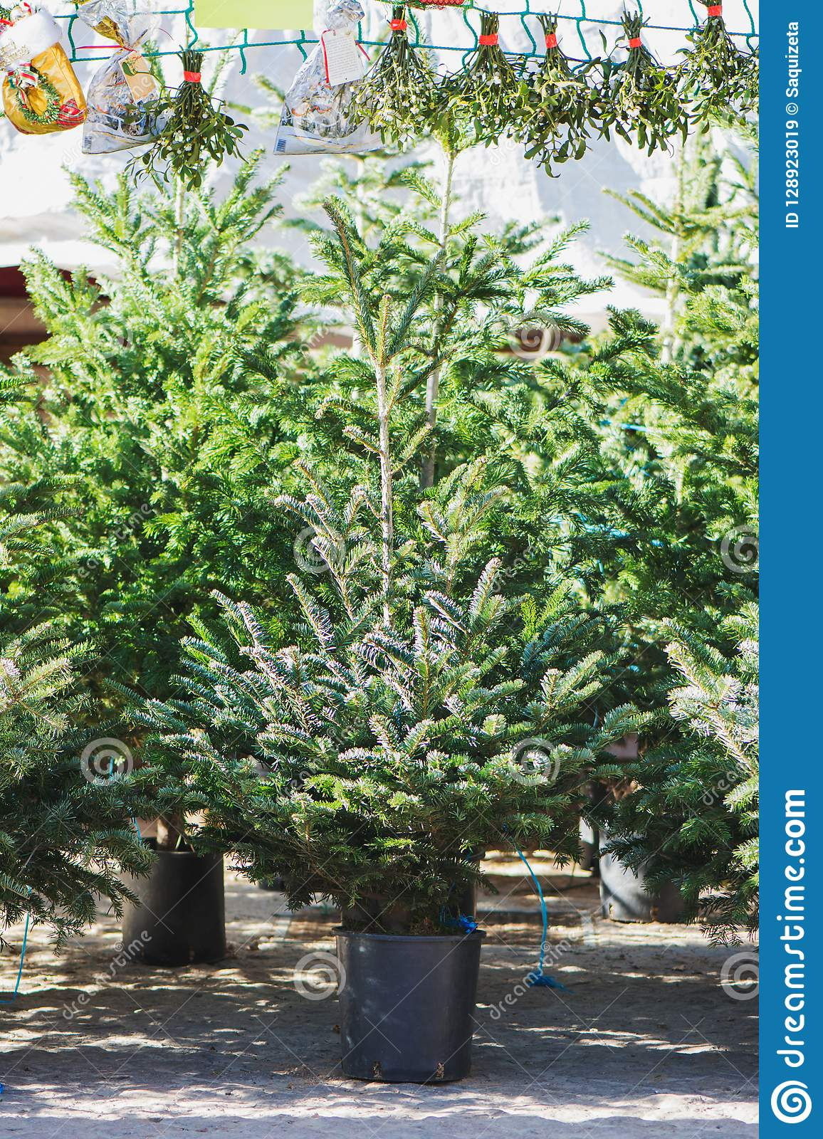 Christmas Trees In Pots For Sale Stock Image - Image of christmas, forest: 128923019