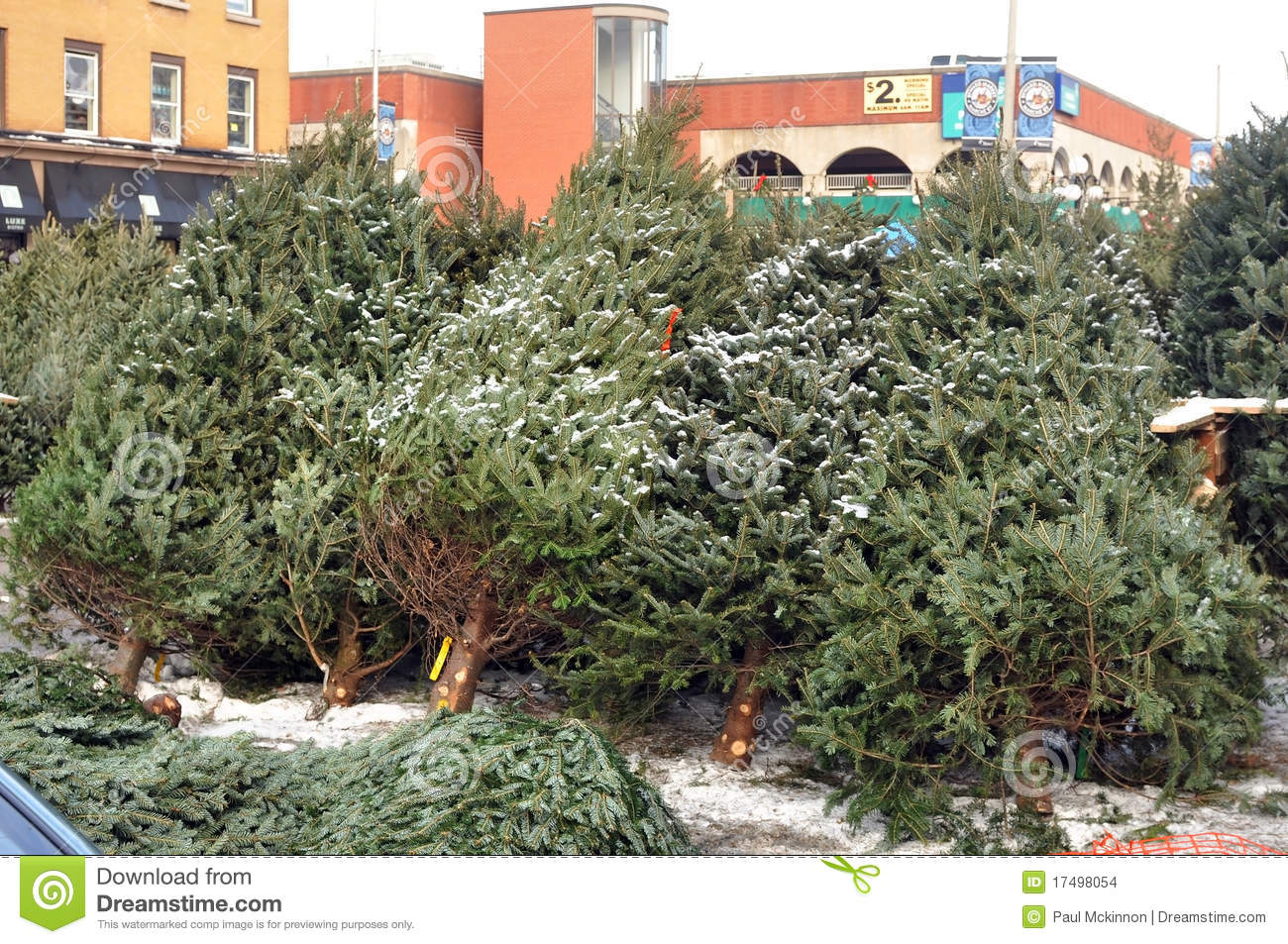 Christmas Trees For Sale Editorial Stock Image Image Of Evergreen