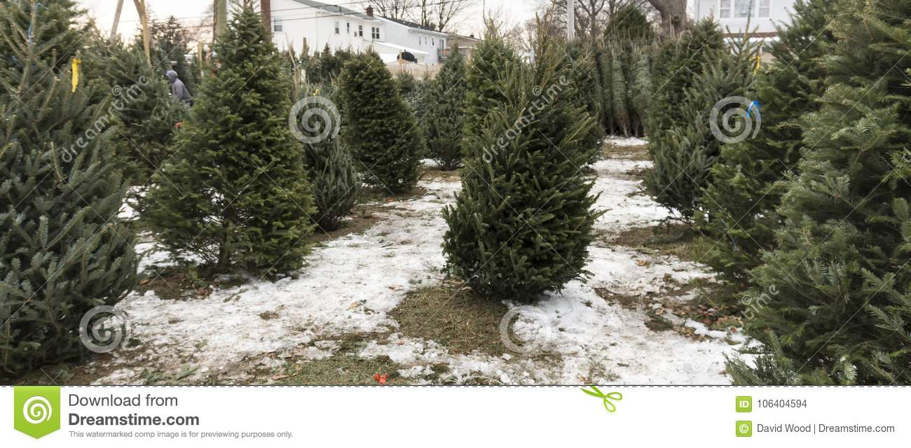 Christmas Trees For Sale.Christmas Trees For Sale With Snow On The Ground Stock Photo