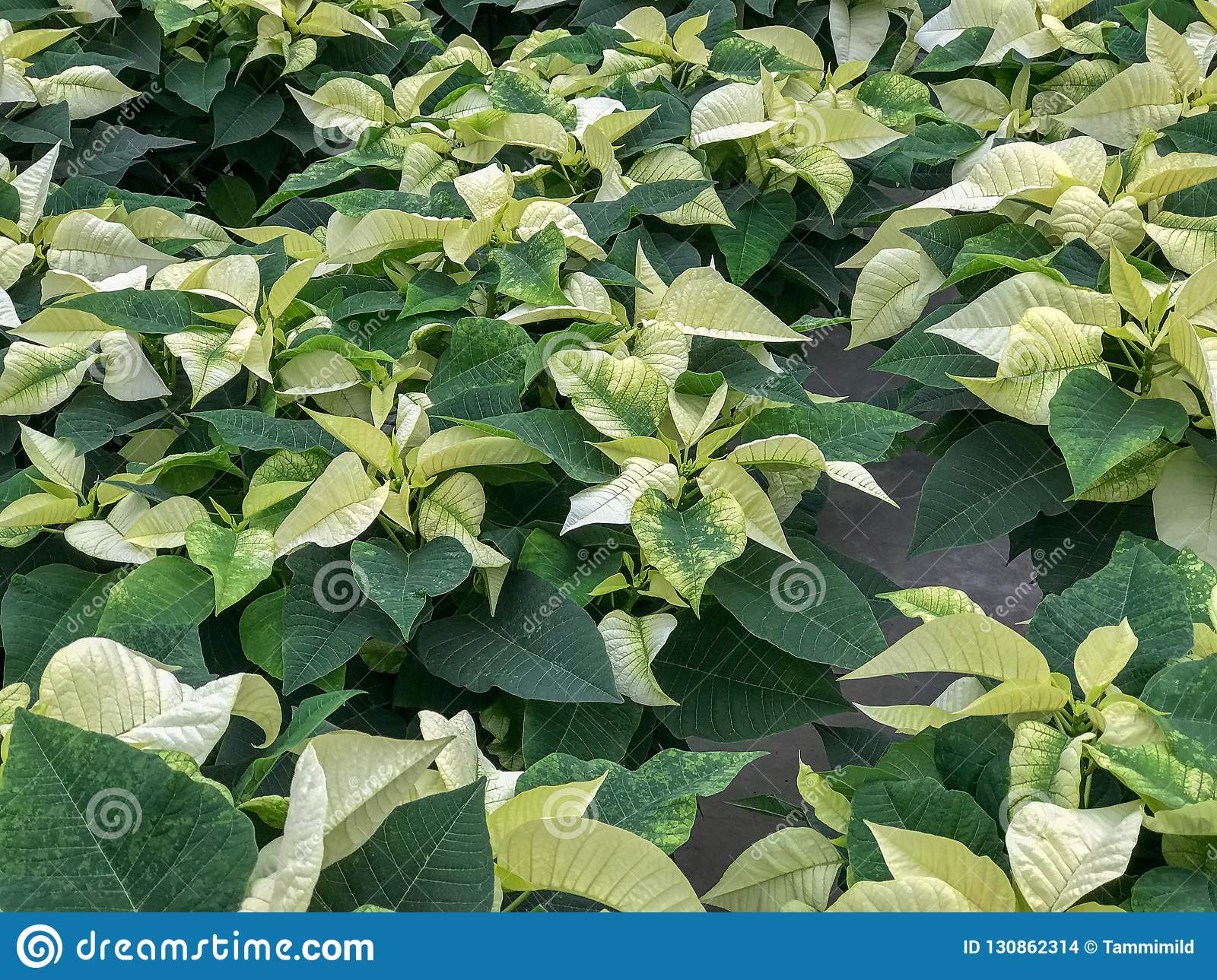 Field Of White Poinsettia Plants Stock Photo Image Of Field