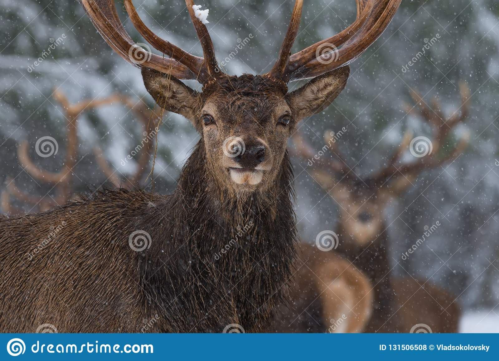 Christmas Wildlife Story.Portrait Of Lonely Stag Under Falling Snowflakes. Great Adult Red Deer With Careful Look Close-Up. Beloru