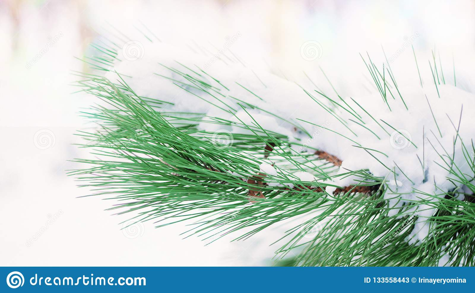 Christmas winter background. Fir tree branch covered with snow in winter day