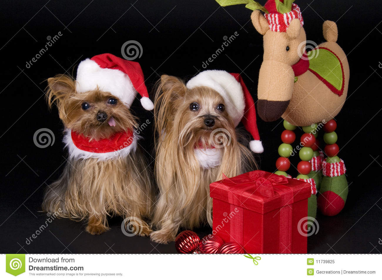 Christmas Yorkshire Terrier Dogs Stock Photo Image Of Gift