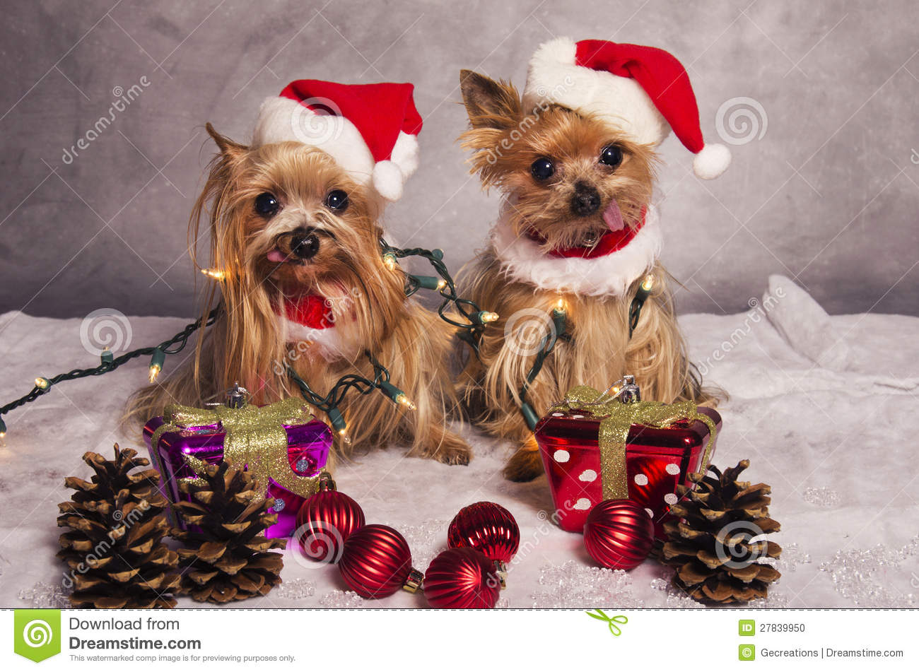 Christmas Yorkshire Terrier Dogs Stock Photo Image Of Yorkshire