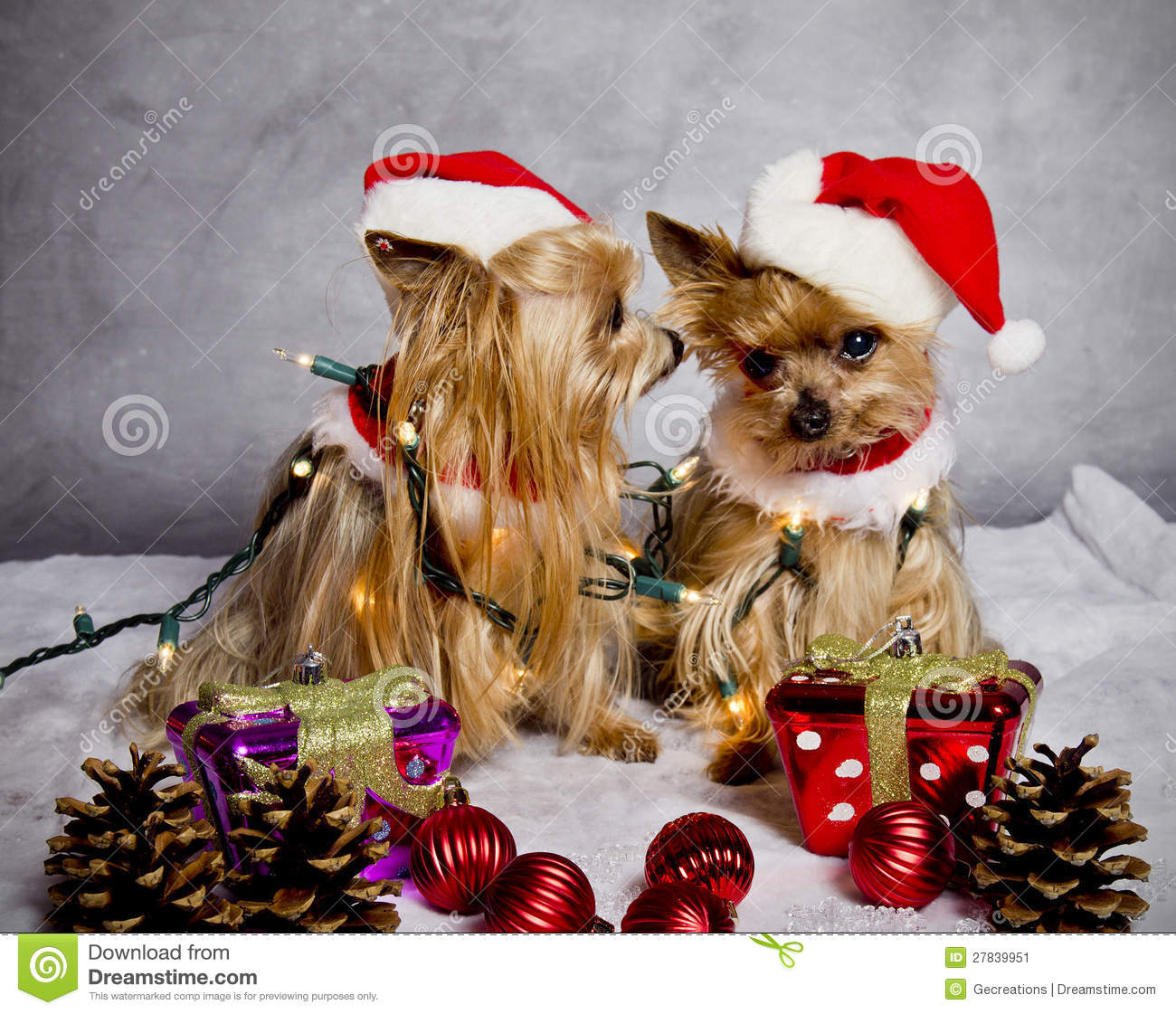 Christmas Yorkshire Terrier Dogs Stock Image Image Of Secret