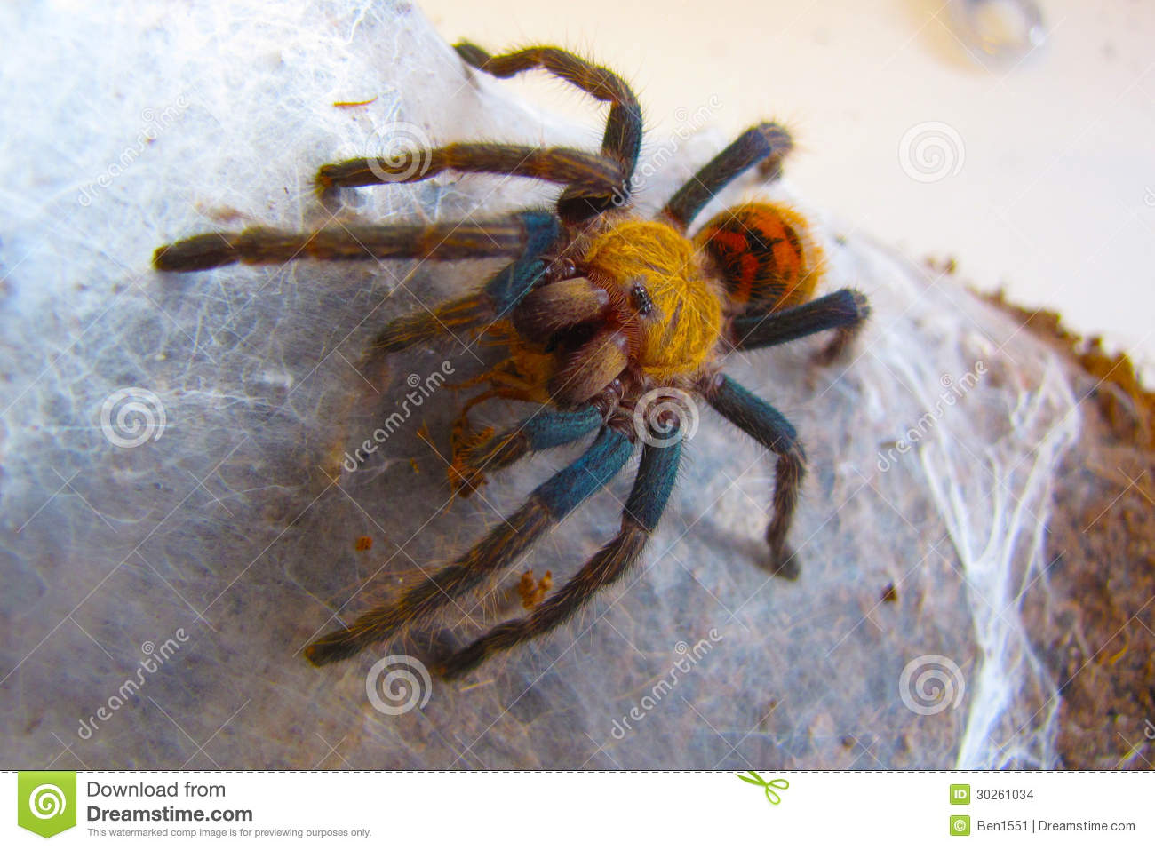 Big Green Bottle Blue Tarantula Eating Stock Images ...
