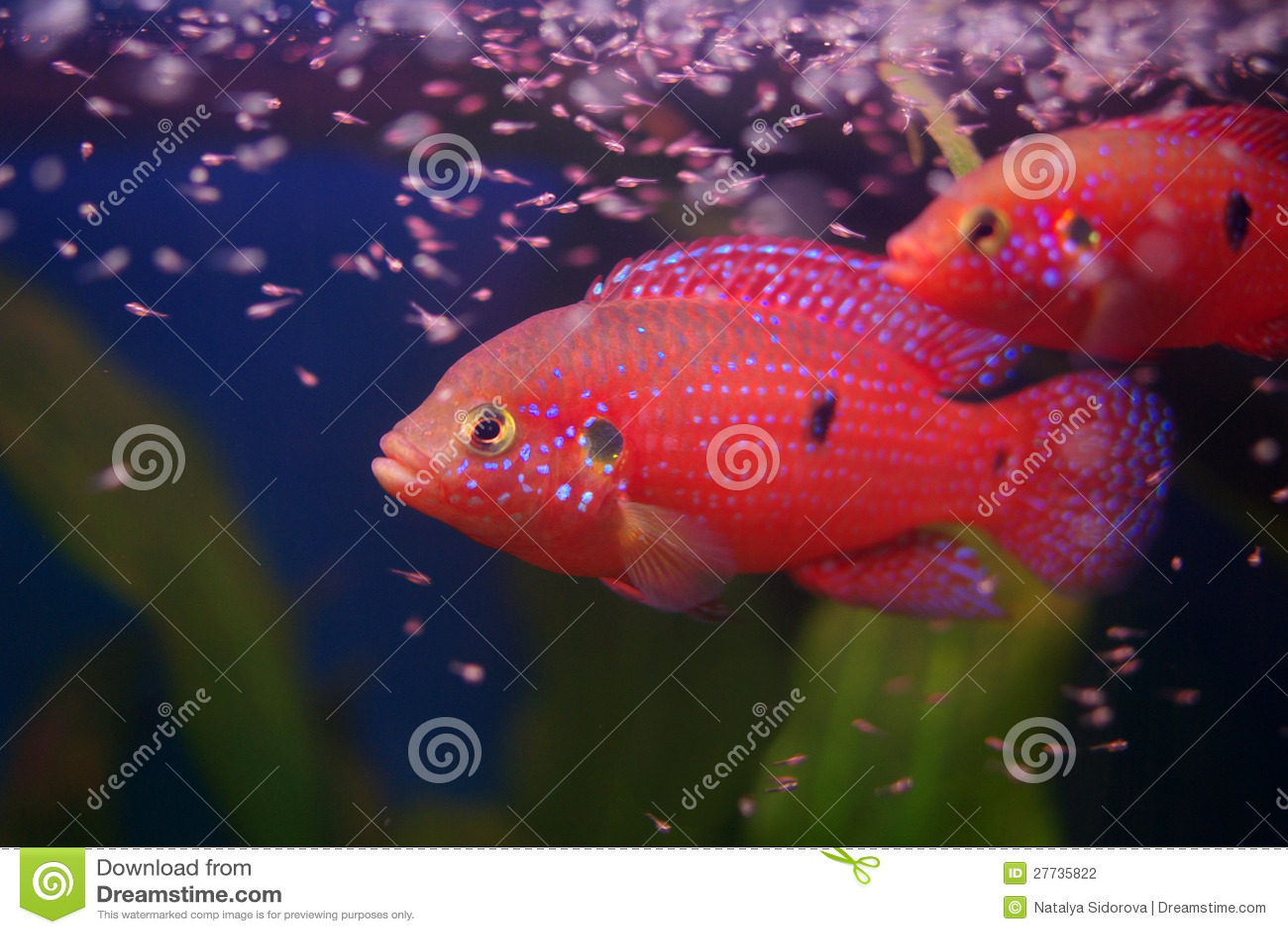 Chromis Cichlid mit Fischrogen