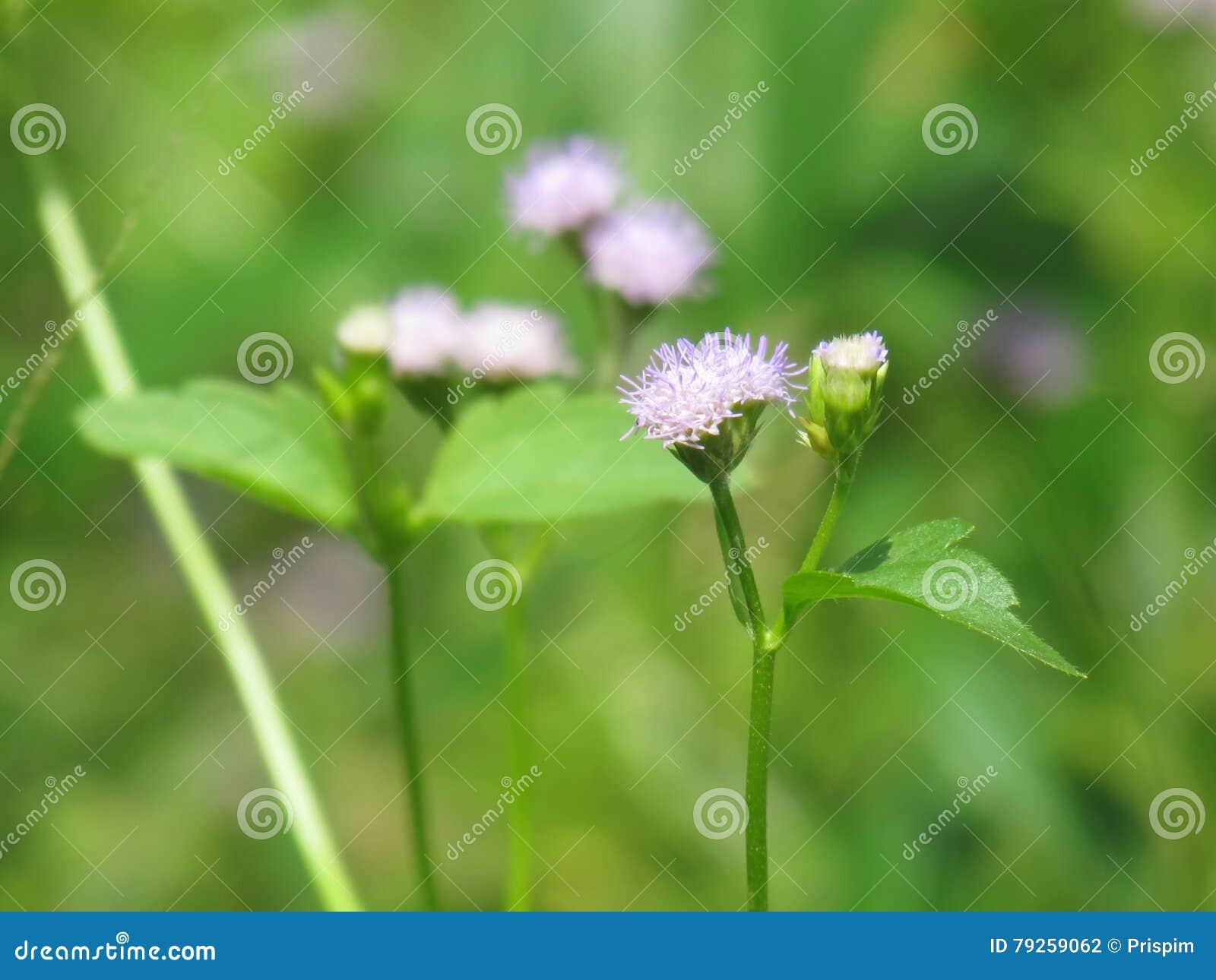 Chromolaena odorata & x28; Pospolity floss flower& x29; Ziele typowo zakładają w polu trawa Selekcyjna ostrość