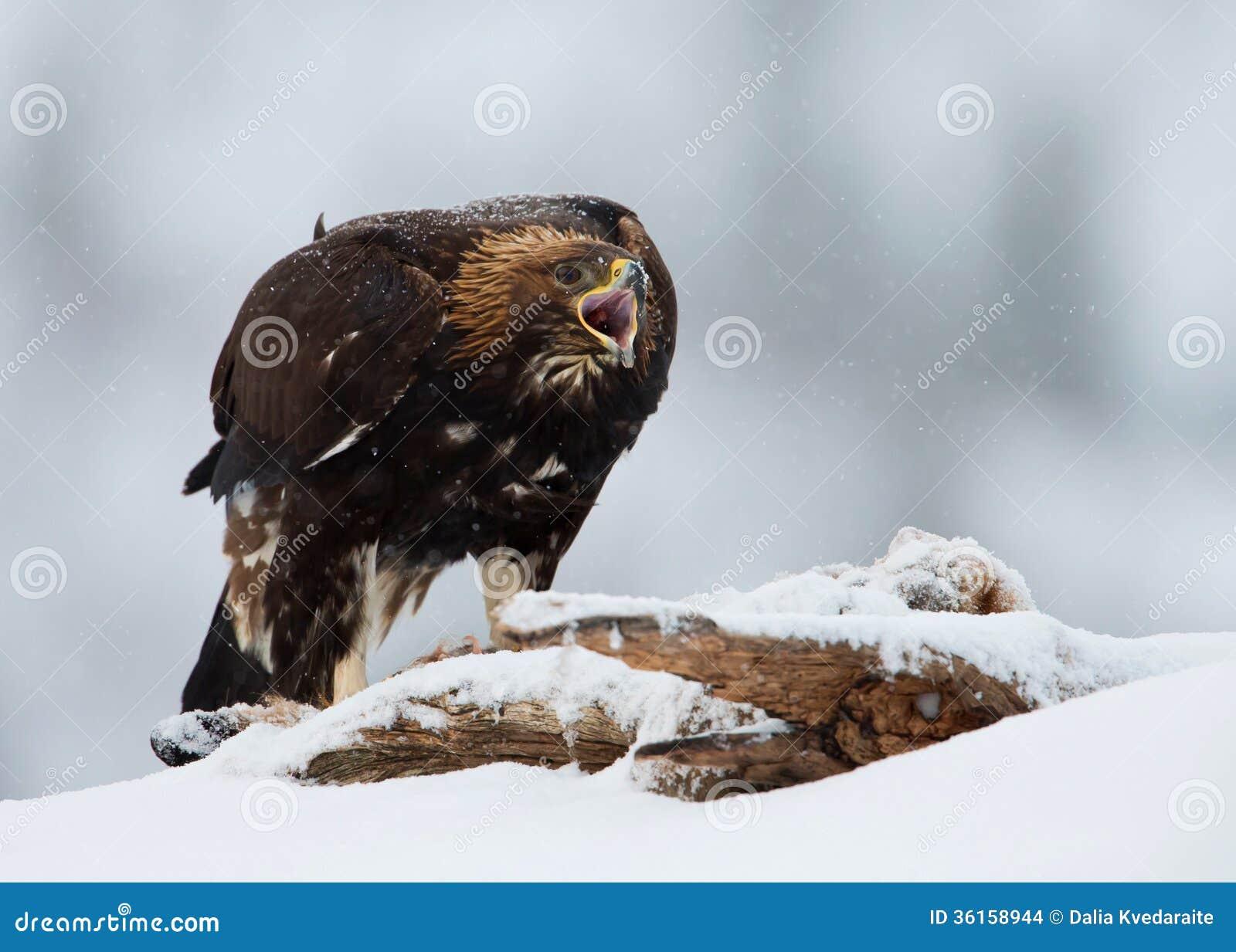 Chrysaetos di L Aquila dell aquila reale, in una bufera di neve