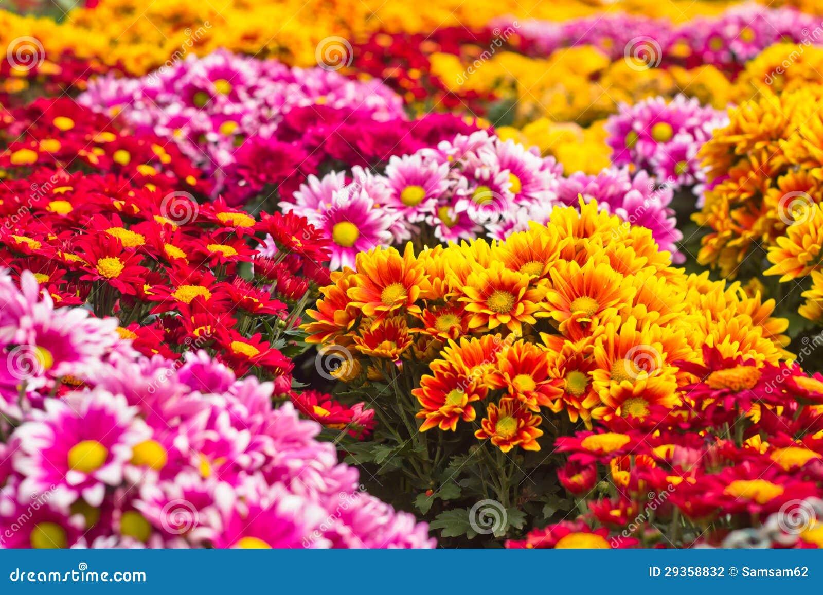 Chrysanthème coloré